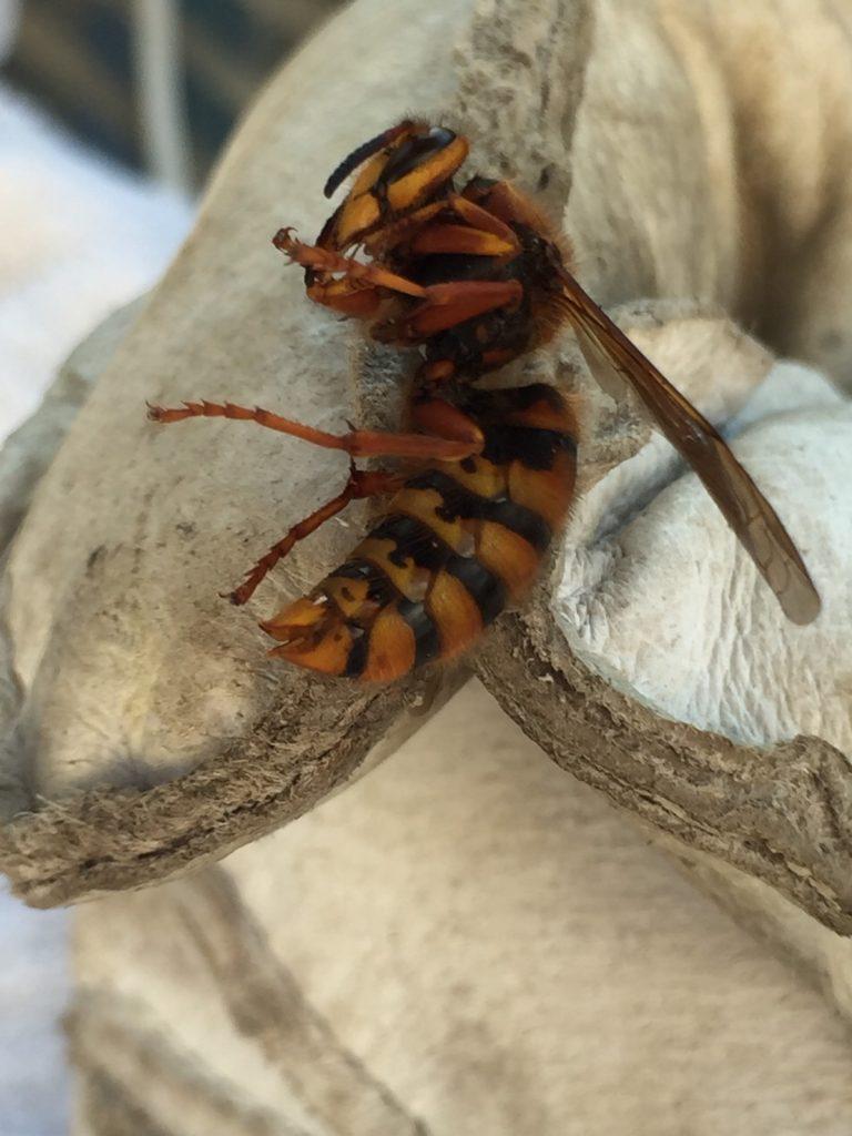 スズメバチを捕獲
