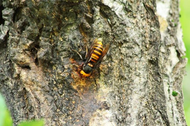 何でも食べるオオスズメバチ