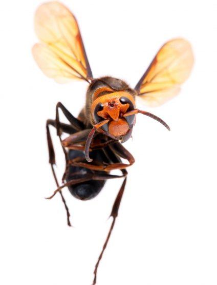 動くオオスズメバチ