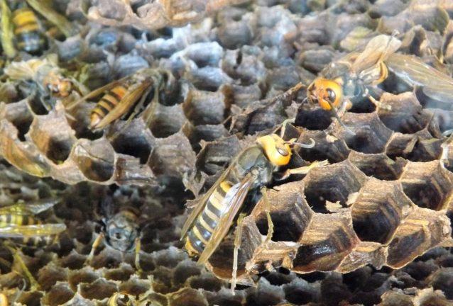 群れるオオスズメバチ