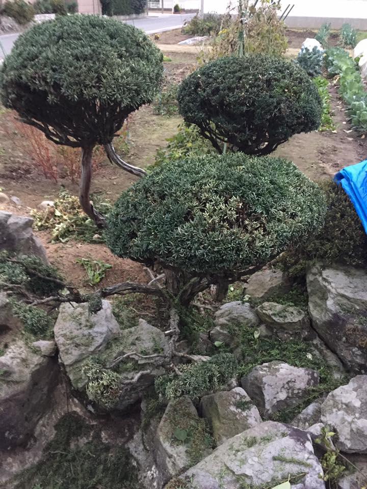 長野市:お庭の剪定1
