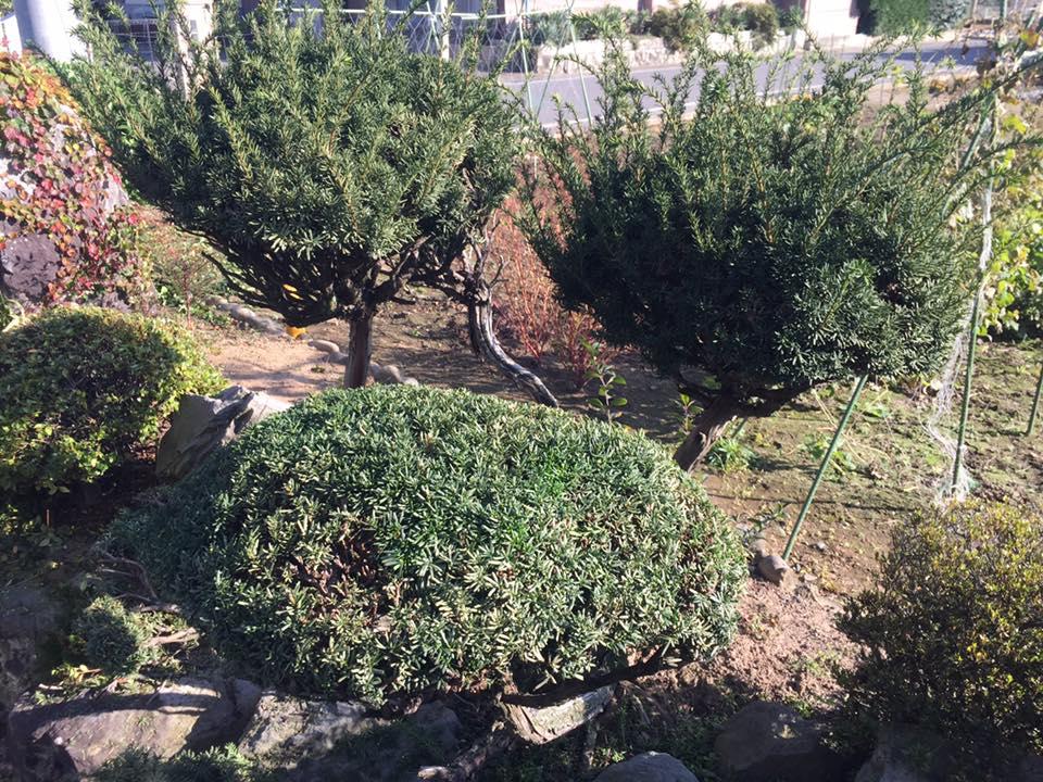 長野市:お庭の剪定2