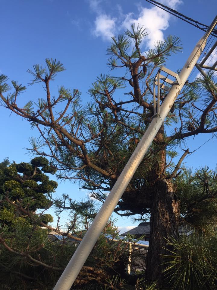 長野市:黒松の剪定2