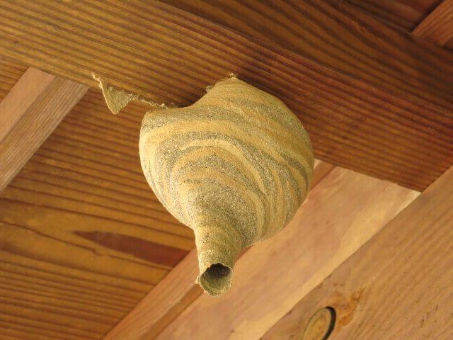 コガタスズメバチの初期の巣