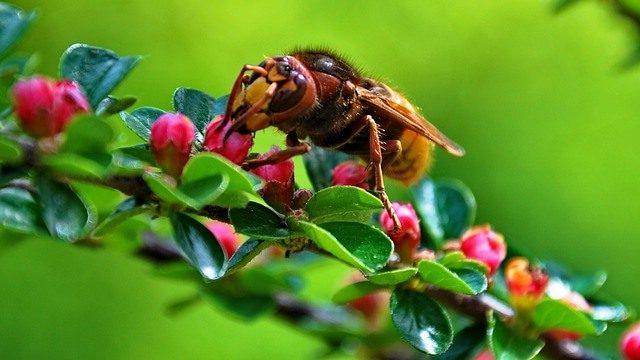 モンスズメバチ