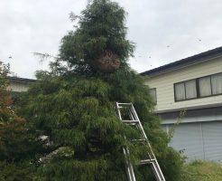 飯山市 庭木に出来たハチの巣の駆除