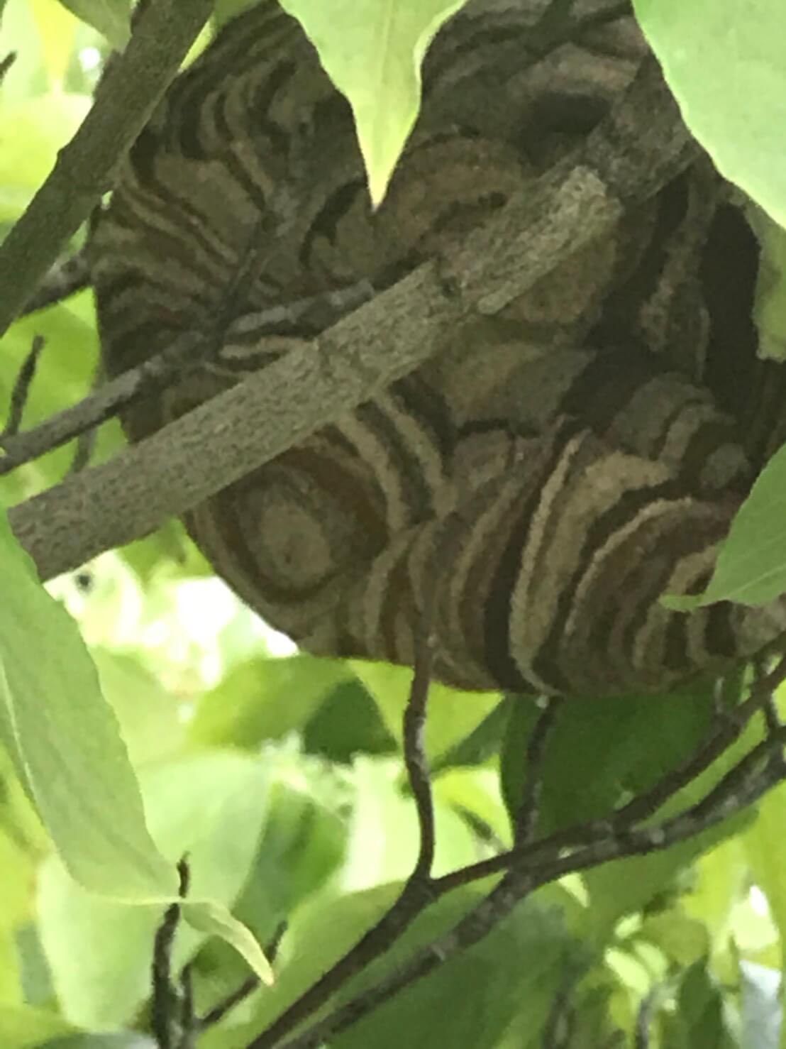 長野市若槻でのハチの巣駆除1