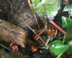 長野市篠ノ井 樹齢150年の木に出来た蜂の巣3