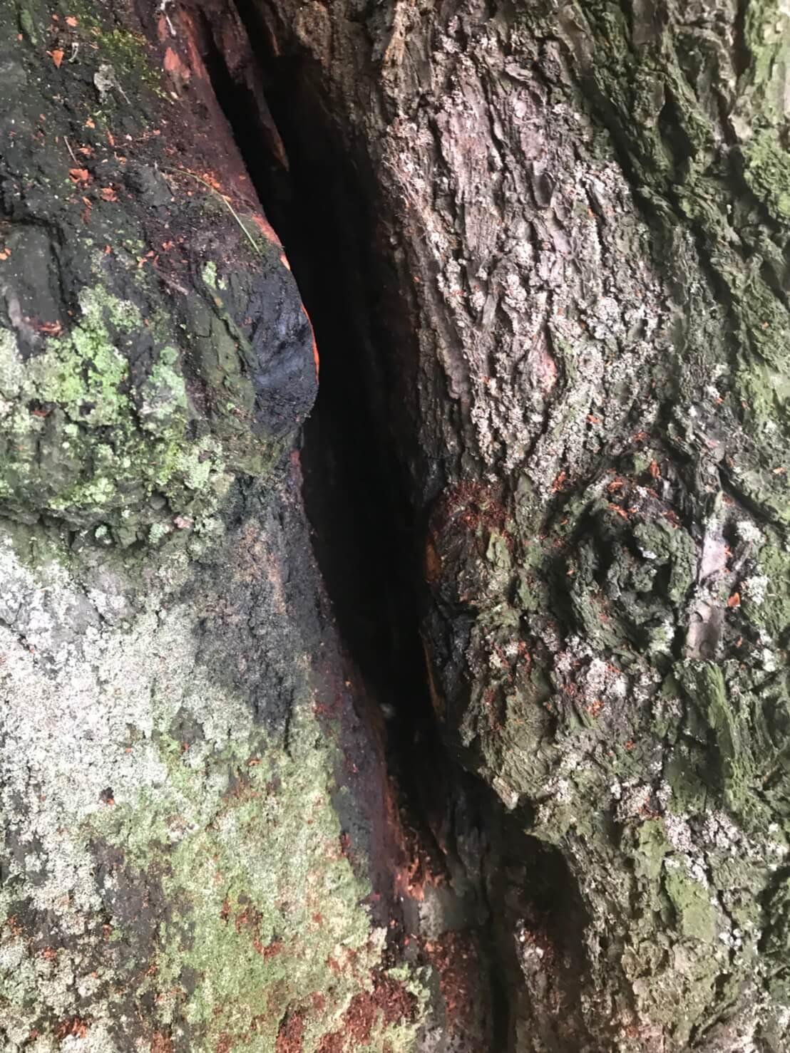 長野市篠ノ井 樹齢150年の木に出来た蜂の巣2
