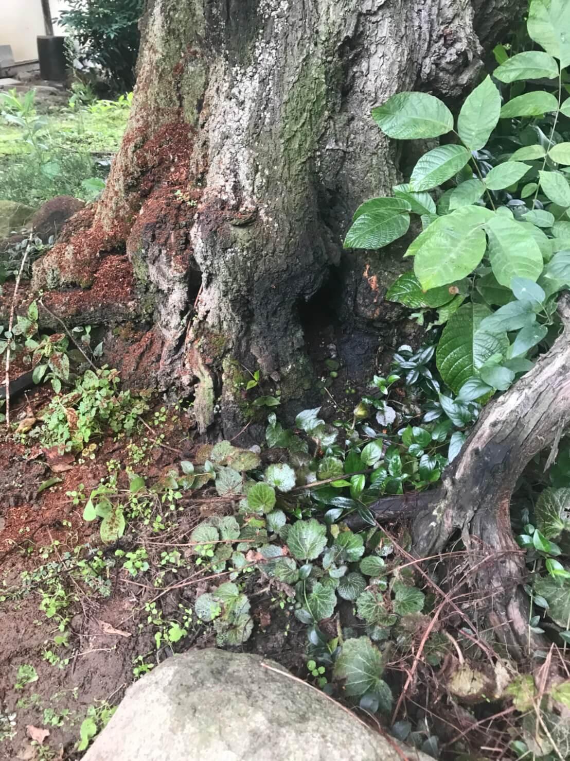 長野市篠ノ井 樹齢150年の木に出来た蜂の巣1