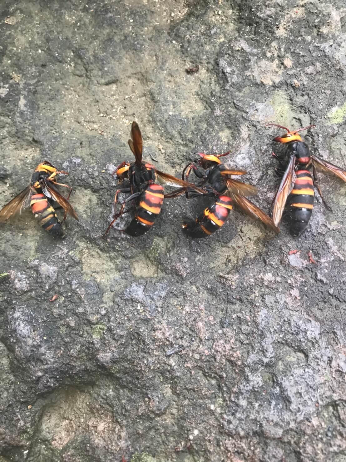 長野市篠ノ井 樹齢150年の木に出来た蜂の巣4