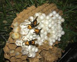 妙高市のオオスズメバチ駆除2