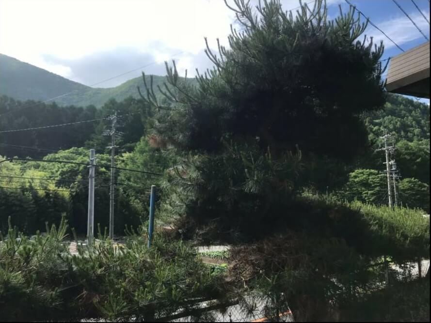 上田市での松の木の剪定2