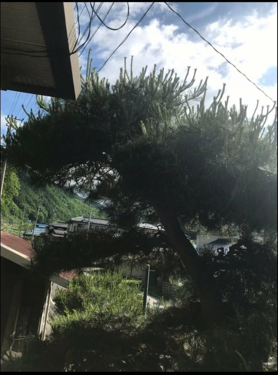 上田市での松の木の剪定1