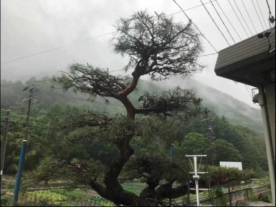 上田市での松の木の剪定4
